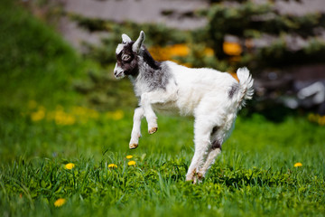 adorable goat kid jumping outdoors