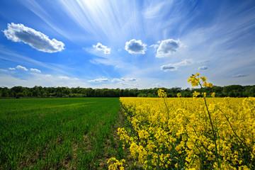 Beautiful Polish landscape, flowering rapeseed field