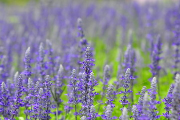 blue salvia flowers in the field in sunny day