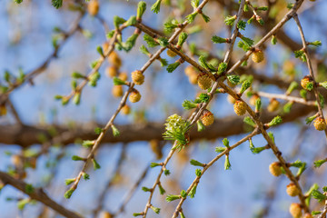 Branches with young needles and flowers of larch in the spring