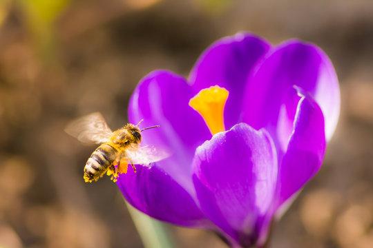 Bee flying to a purple crocus flower