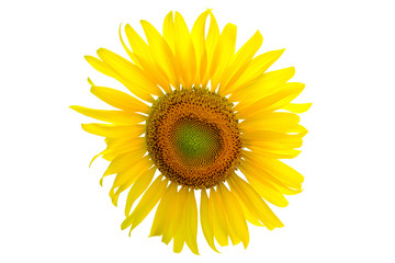 beautiful fresh sunflower isolated on white background