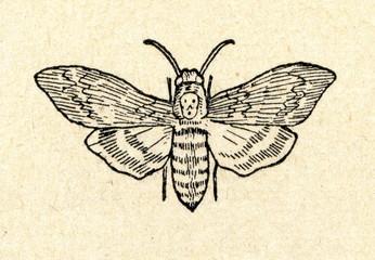 Death's-head Hawkmoth  (Acherontia atropos)
