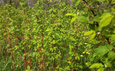 Bushes of raspberries.