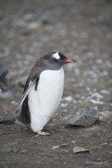 Gentoo Penguin - South Shetlands