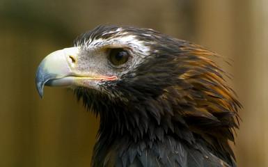 Portret van een jonge arend.