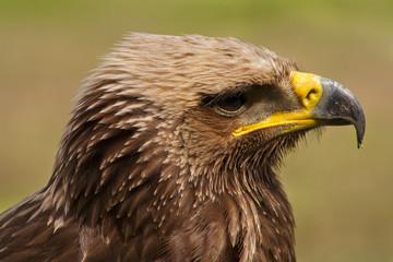 Portret van een roofvogel.