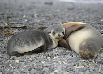 Fur Seal Cub & Mother - South Georgia