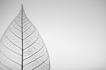 Foto op Canvas Decoratief nervenblad Skeleton leaf on grey background, close up