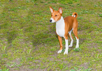 Basenji left side is on the grass in the park.