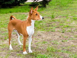 Basenji right side is on the grass in the park.
