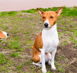 Basenji stands in the park.