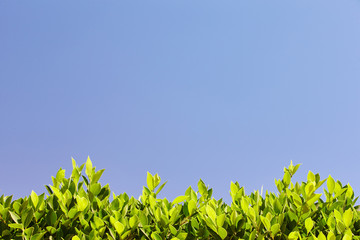 Bright green leaves against the blue sky, at the bottom of the f