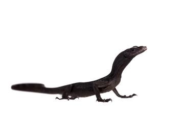 Black tree monitor lizard, varanus beccari, on white