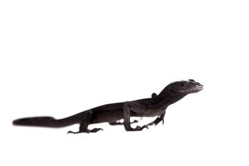 Black tree monitor lizard, varanus beccari, on white