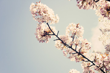 Vintage cherry blossoms in spring