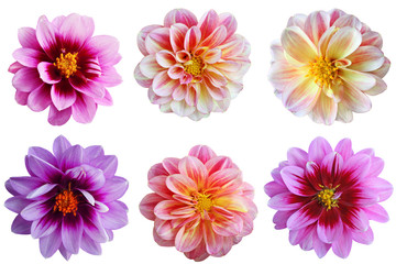 Acrylic Prints Dahlia Dahlia flower Set