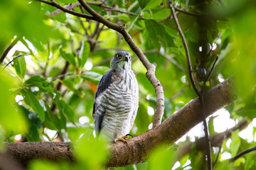 Crested Goshawk perching on tree