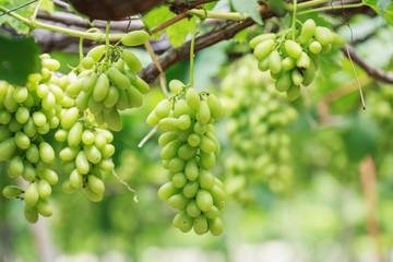 Bunch of fresh green grapes in vineyard