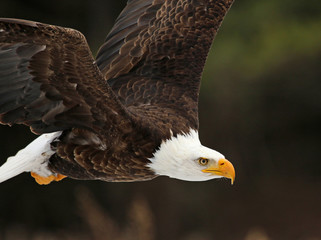 Fotoväggar - A Bald Eagle (Haliaeetus leucocephalus) in flight..