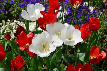 Tulpen verblühen im Garten