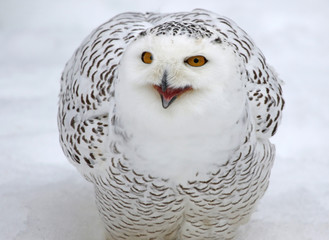 Fotoväggar - A Snowy Owl (Bubo scandiacus) talking while in the snow..