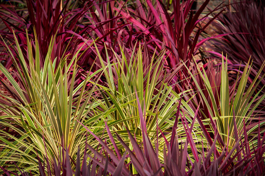 Red green cordyline grass plants ideal as background