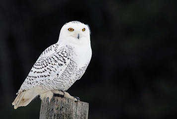 Fotoväggar - A Snowy Owl (Bubo scandiacus) sitting on a post..