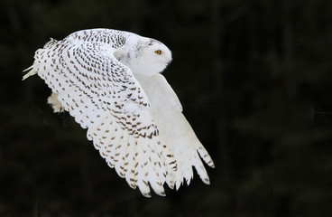 Fotomurales - A Snowy Owl (Bubo scandiacus) flying against a black background..