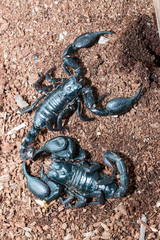 black Scorpion on the ground