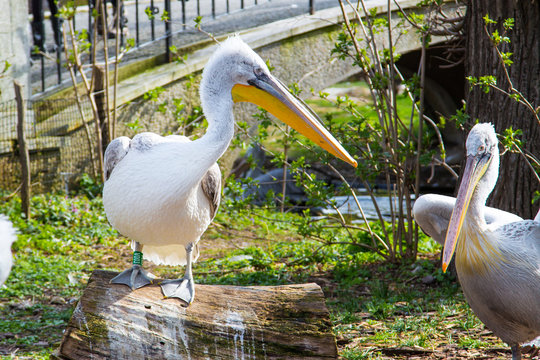 Pelecanus onocrotalus also known as the eastern white pelican