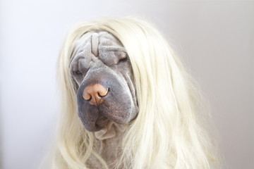 Australia, Tasmania, Shar pei dog wearing long blonde wig