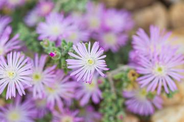 Delicate lilac rockery flower.