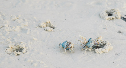 Philippines, Blue crabs on beach