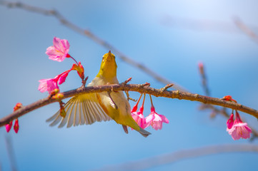 Thailand, Chiang Mai, Yellow bird taking wing off cherry branch with pink blossom