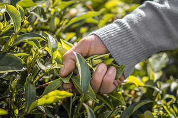 Hand picking tea leaves from bush, Asia