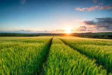 Wall Mural - Sunset over Barley Fields