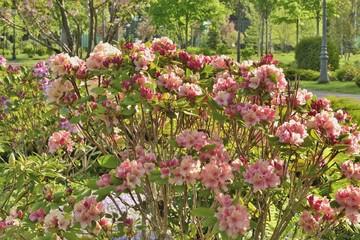 Куст цветущей азалии