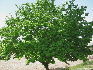Hazel tree with green leaves
