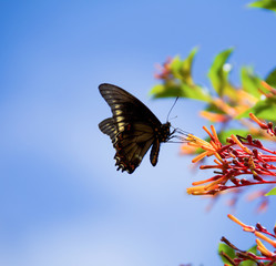 Indra Swallowtail on butterfly bush.