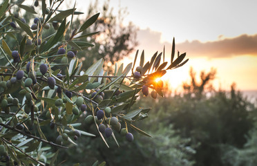 Ingelijste posters Olijfboom Olive trees on sunset