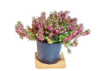 """Erica in the pot. Common names """"heath"""" and """"heather"""""""