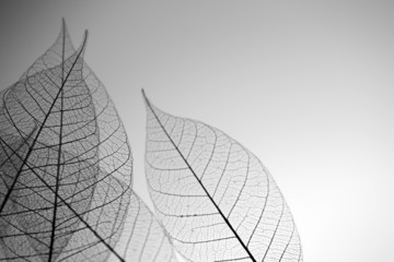 Foto op Canvas Decoratief nervenblad Skeleton leaves on grey background, close up