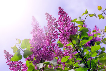 Branches of purple lilacs bushes on sunny day