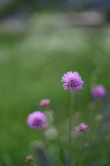 fiore rosa fiori primavera