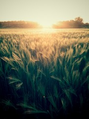 Wheat field in the evening