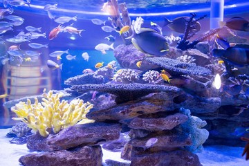 Fish swimming in a tank with corals and stones