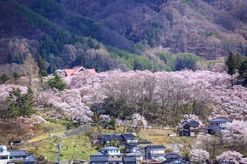 長野県伊那市 高遠城址公園の桜