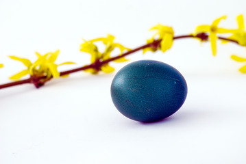Blue easter eggs and  branch of yellow blossoms