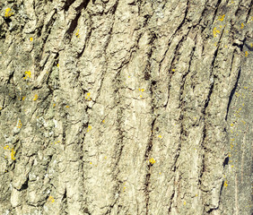 Texture of old oak bark